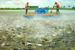Cá tra đối diện nguy cơ đổ vỡ chuỗi sản xuất và cung ứng