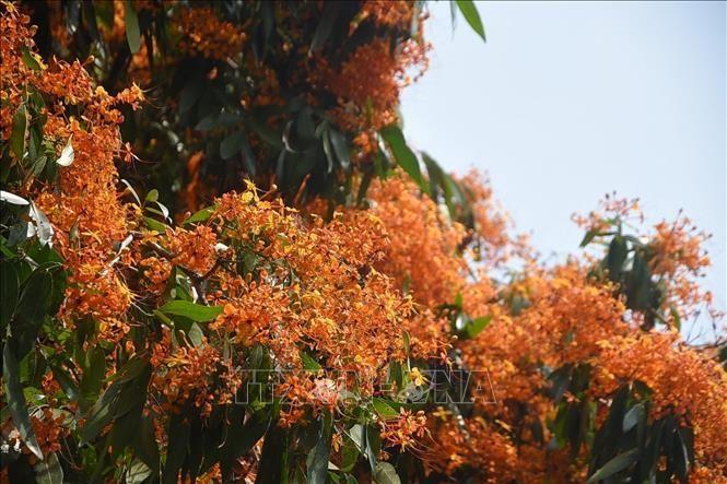 Hoa trang rừng rực rỡ khoe sắc 2 bên bờ suối Tà Má, Bình Định ảnh 1