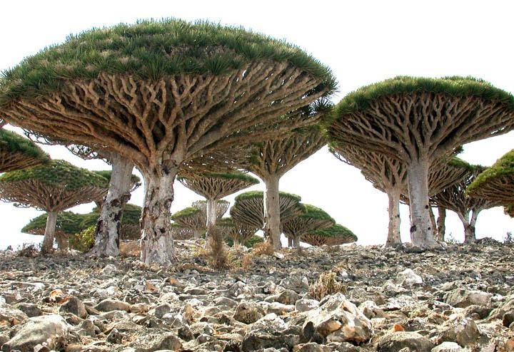 Quần đảo Socotra với hơn 700 loài đặc hữu ảnh 5