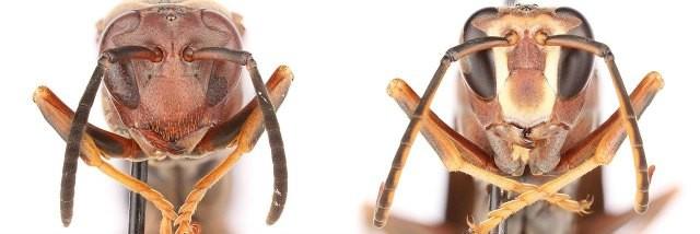 Ong bắp cày có gen nhận diện khuôn mặt ảnh 2