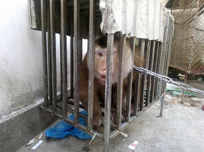 Huế: Cộng đồng mạng gom tiền giải cứu một cá thể khỉ đuôi lợn ảnh 1