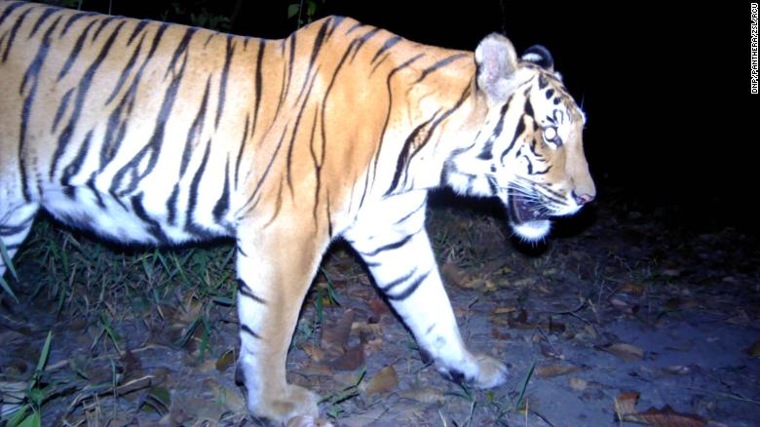 Phát hiện 3 con hổ Đông Dương ở Thái Lan ảnh 1
