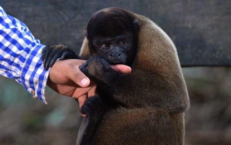 Khu bảo tồn khỉ mồ côi trong rừng Amazon ảnh 3