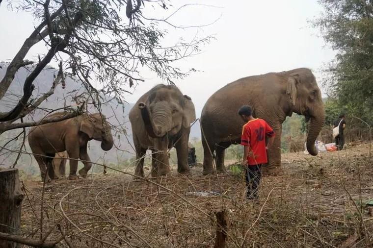 Tương lai nào cho những chú voi 'thất nghiệp'? ảnh 1