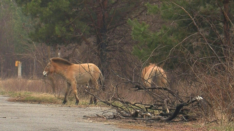 Ngựa hoang sinh sôi nảy nở ở Chernobyl ảnh 1