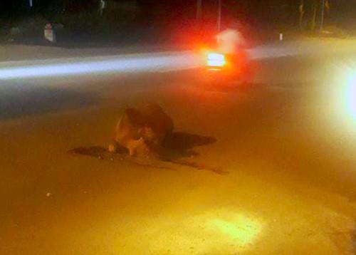 Bò bị tông chết, chủ không dám nhận vì sợ phạt ảnh 1