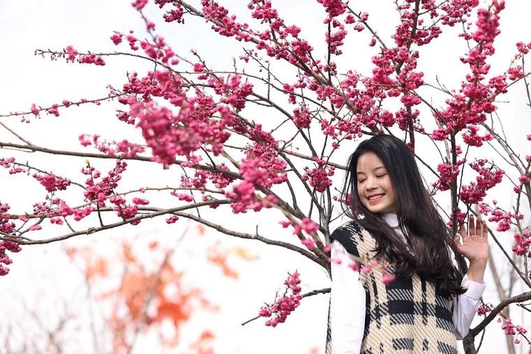 Sun World Fansipan Legend: Anh đào Nhật Bản nở rộ, đẹp như chốn Phù Tang ảnh 1