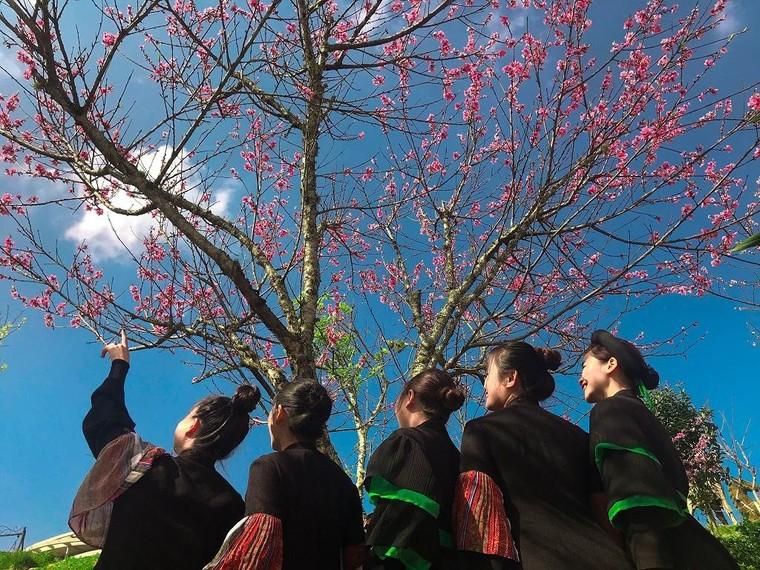 Sun World Fansipan Legend: Anh đào Nhật Bản nở rộ, đẹp như chốn Phù Tang ảnh 8