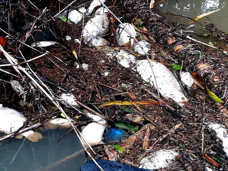 Cá chết bất thường trên sông Phủ ở Quảng Ngãi ảnh 1