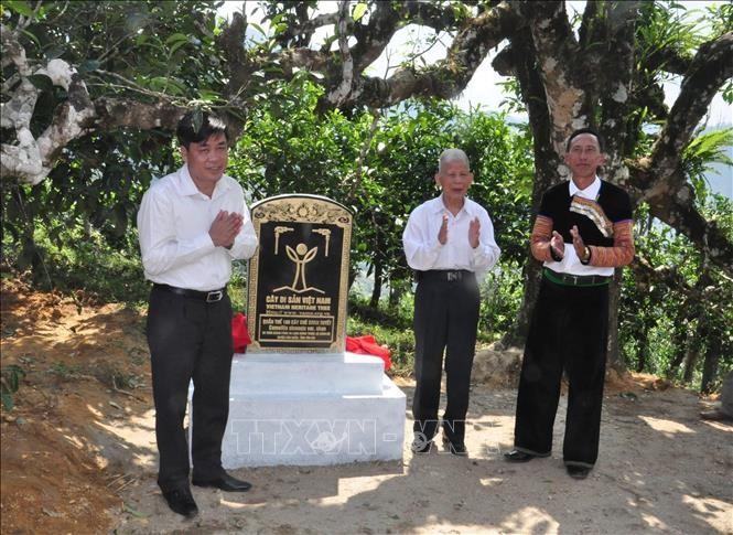 Chè Shan tuyết Giàng Pằng được công nhận quần thể Cây di sản Việt Nam ảnh 1