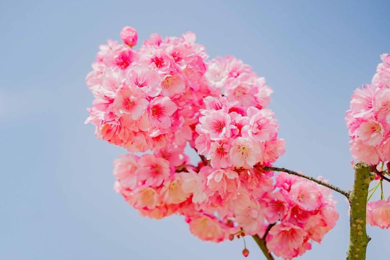 Du khách nô nức check-in thiên đường hoa Sa Pa đầu xuân ảnh 3