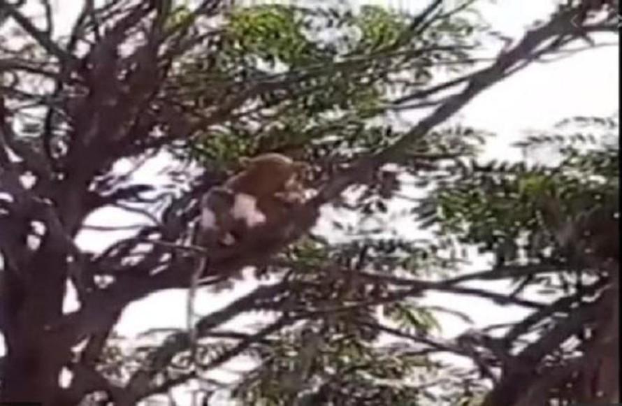 Đàn khỉ trèo lên cây sau khi cướp mẫu xét nghiệm COVID-19.