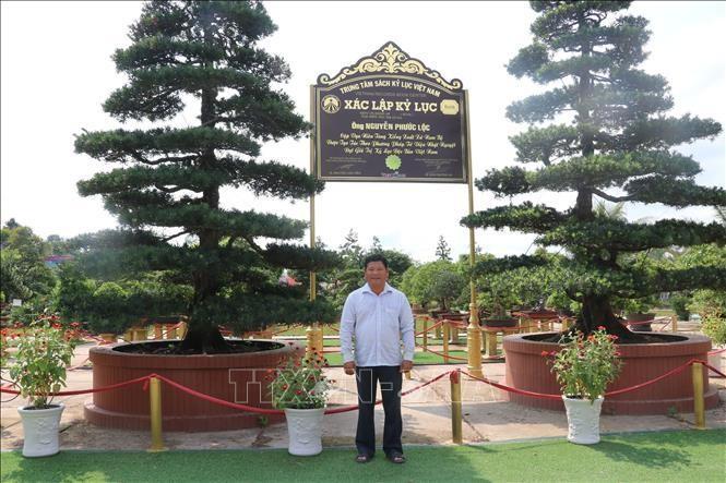 Nghệ nhân Nguyễn Phước Lộc với cặp vạn niên tùng xác lập kỷ lục Việt Nam. Mỗi cây vạn niên tùng có chiều cao khoảng 7m, đường kính tán khoảng 4m, hoành gốc 1,3m, tuổi đời hơn 150 tuổi. (Ảnh: TTXVN)