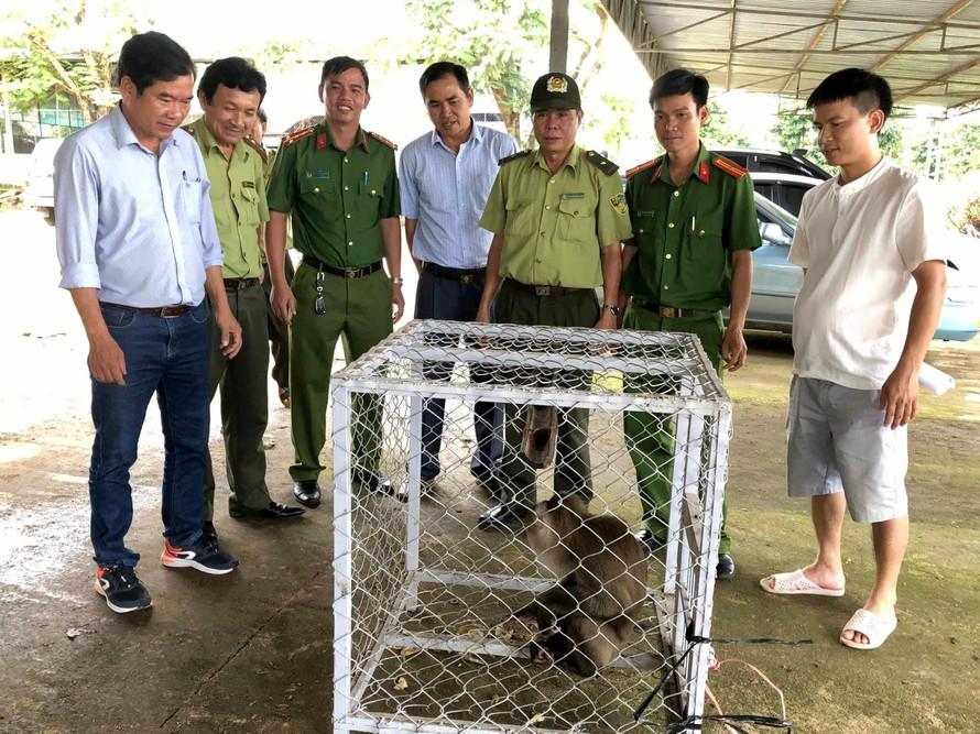 Cá thể khỉ đuôi lợn được bàn giao cho Trung tâm Cứu hộ-Bảo tồn và Phát triển sinh vật (Vườn Quốc gia Kon Ka Kinh). Ảnh: Lê Nam