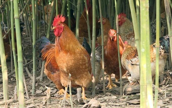 Một trại gà ở Quảng Ninh. (Ảnh: VnExpress)