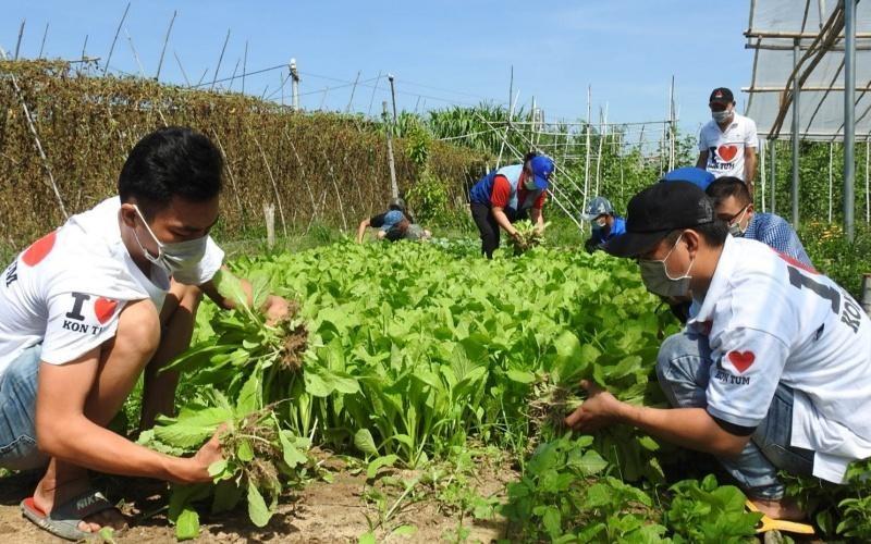 Thành viên các nhóm tình nguyện tại Kon Tum thu hoạch rau xanh. (Ảnh: Nhân Dân)