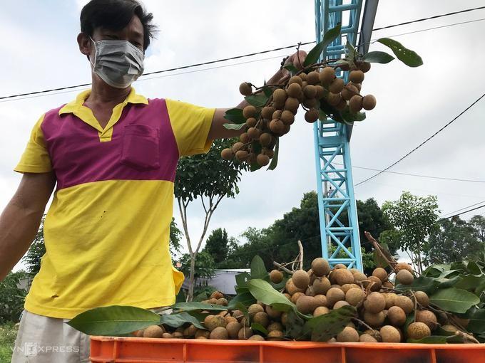 Anh Phạm Văn Nguyên cho biết giá bán dưới 8.000 một ký, trong khi chi phí sản xuất tăng, vụ này gia đình anh lỗ nặng. Ảnh: VnExpress