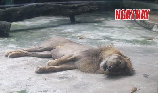 """Sư tử nuôi nhốt tại Thảo Cầm Viên. Một bạn đọc nhận xét """"Chúa sơn lâm trông như con mèo ốm"""". Ảnh: Nhóm PV Tại TP.HCM"""