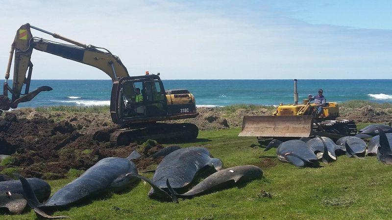 Hơn 50 cá voi thí điểm đã chết sau khi khoảng 90 bị mắc kẹt tại quần đảo Chatham của New Zealand Ảnh: au.news.yahoo.com