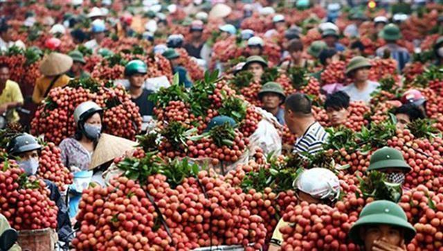 Bắc Giang đã tiêu thụ được hơn 80.300 tấn vải giữa mùa dịch