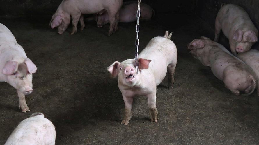 Dịch tả lợn châu Phi tạo tiền đề cho COVID-19