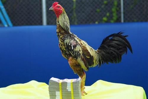 Con gà trống giống Phama Mahwing đước bán với giá 1 triệu baht. Ảnh: Bangkok Post