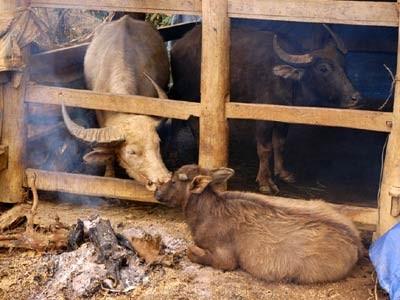 Yên Bái: Hàng loạt gia súc chết rét khiến người dân mất tiền tỷ