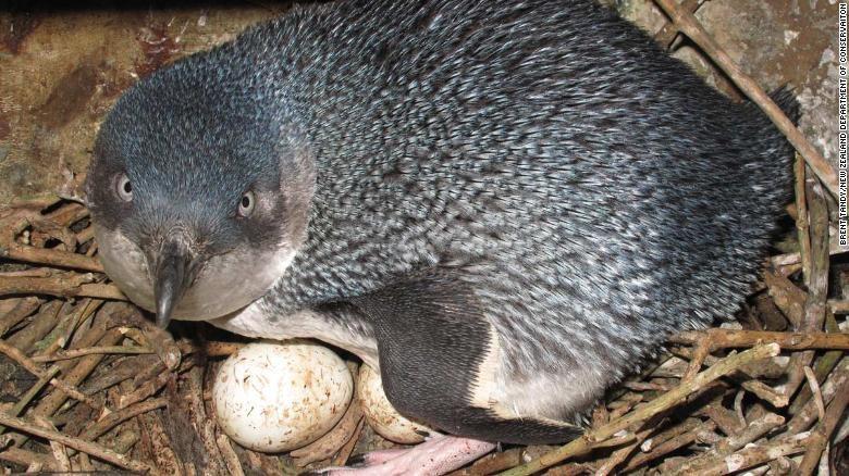 Một chú chim cánh cụt xanh đang ấp trứng trong ổ. Ảnh: CNN