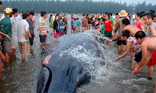 Một con cá voi từng mắc cạn tại xã Diễn Thịnh. Ảnh: Báo Nghệ An