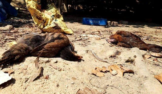 Quảng Nam: Tiêu hủy hơn 4000 con gia cầm mắc cúm A/H5N6