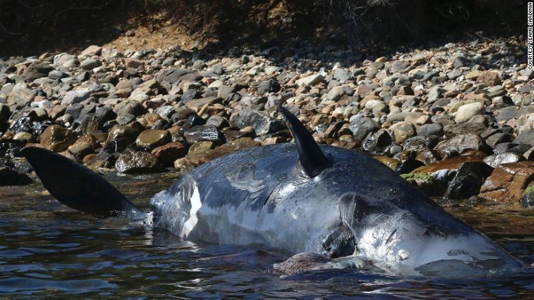 Phát hiện 22kg nhựa trong bụng cá nhà táng đang mang thai