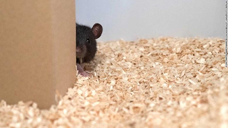 Loài chuột có khả năng chơi trốn tìm