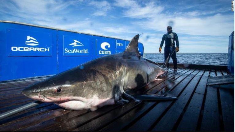 Phát hiện cá mập trắng nặng 1 tấn