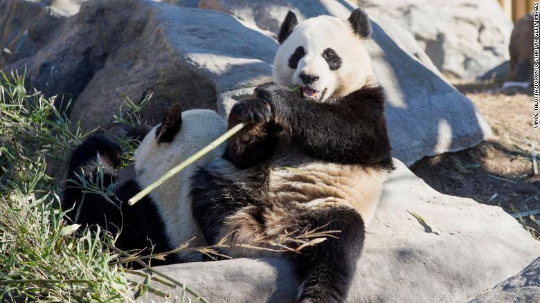 Sở thú Canada trả gấu trúc về Trung Quốc do không đủ thức ăn