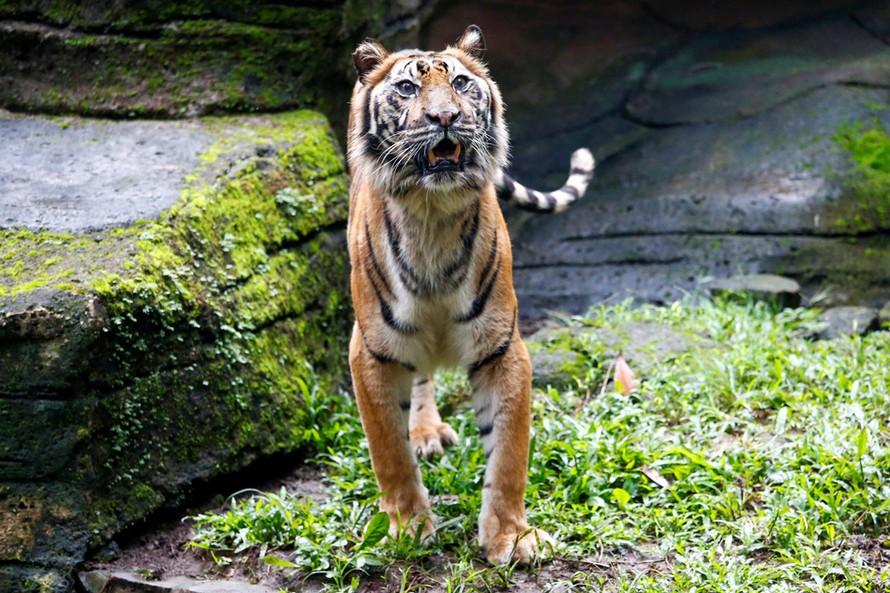 Cá thể hổ Sumatra tên Fitri tại vườn thú Bandung. Ảnh: Reuters