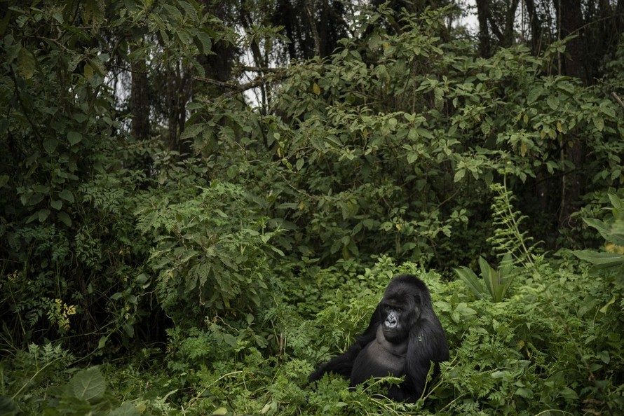 Khỉ đột 25 tuổi nổi tiếng ở Uganda bị thợ săn sát hại