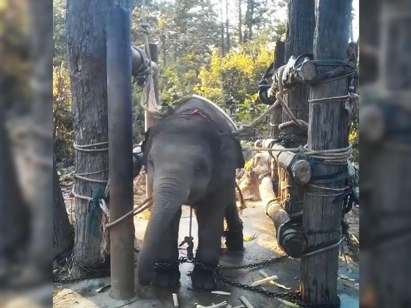 Xót xa trước hình ảnh voi con bị thuần hóa