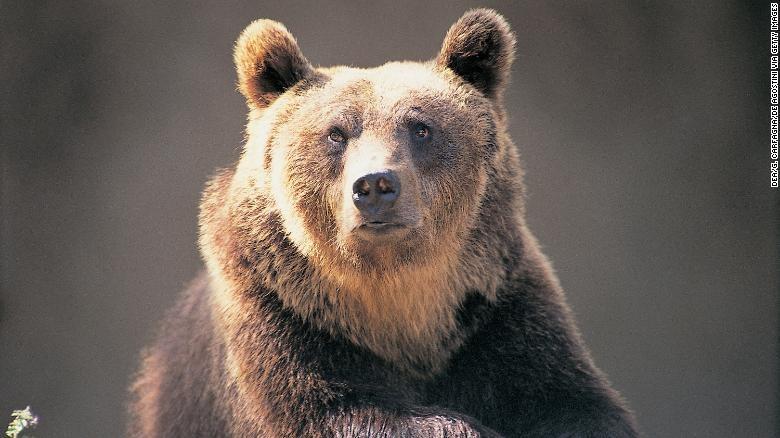 Gấu nâu bị phán tử hình do tấn công con người