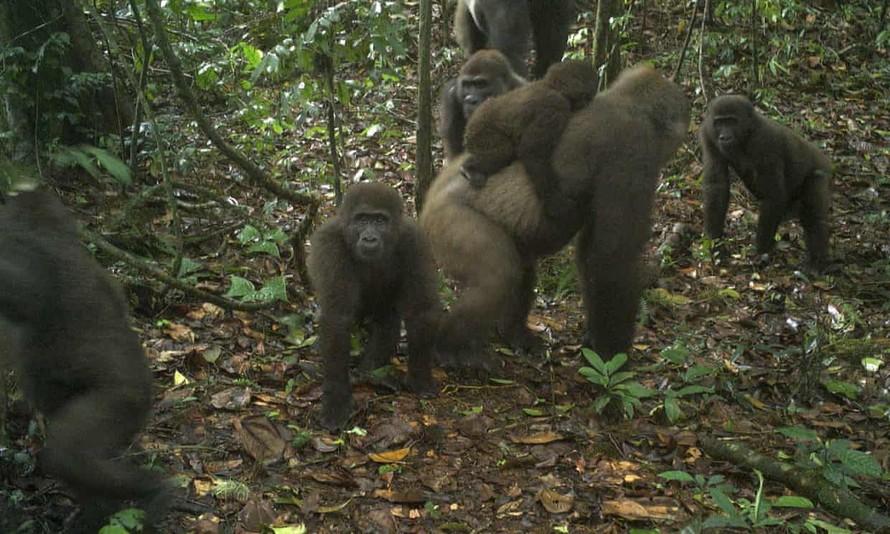 Đàn khỉ đột sông Cross bất ngờ xuất hiện trên camera. Ảnh: AP