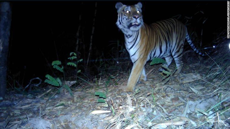 Bẫy ảnh đã chụp lại được 3 con hổ khác nhau tại phía tây Thái Lan.