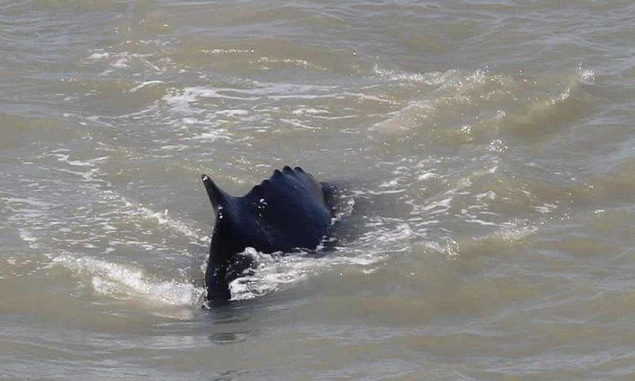 Cá voi lưng gù đi lạc vào sông vùng nhiệt đới