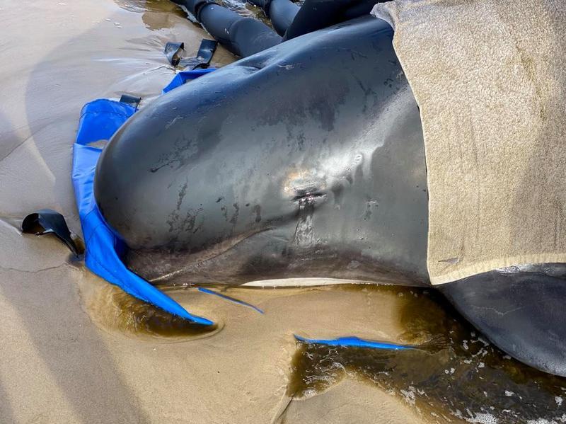 Australia xử lý hàng trăm xác cá voi mắc cạn