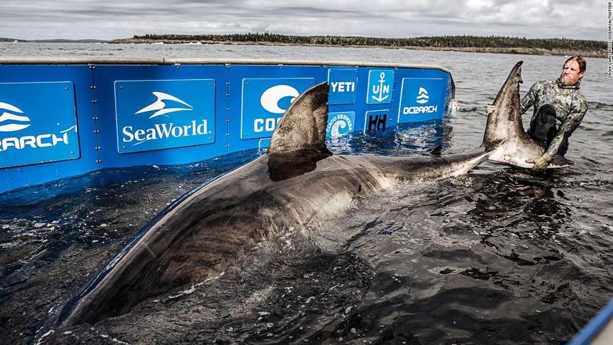 Phát hiện cá mập 50 tuổi dài hơn 5 m