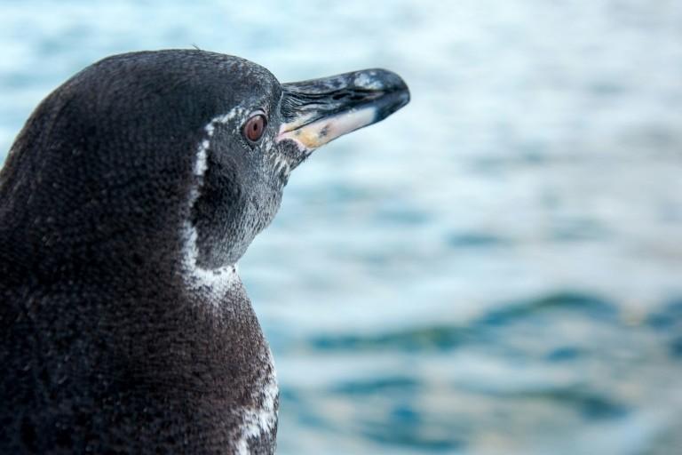 Số lượng chim cánh cụt Galapagos tăng kỷ lục