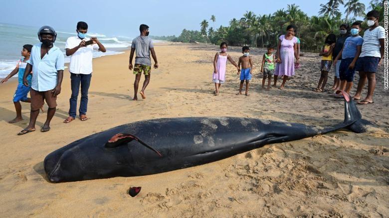 Sri Lanka giải cứu 100 con cá voi trắng mắc cạn hàng loạt
