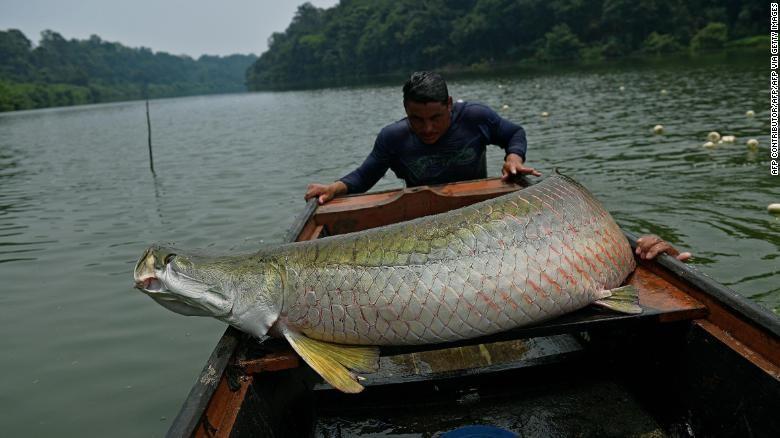 Mô hình bảo tồn bền vững loài 'thủy quái' Amazon