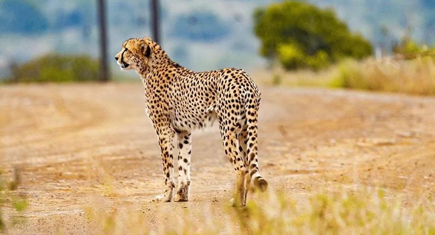 Ấn Độ hồi sinh loài báo cheetah bản địa