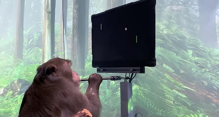 Khỉ được cấy chip não có thể chơi game