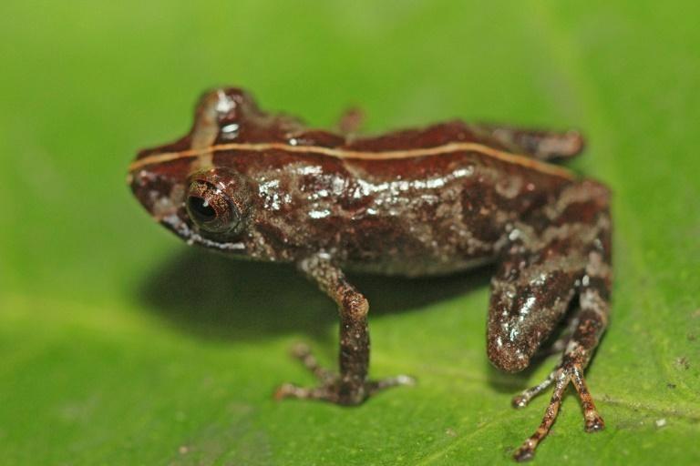 Peru phát hiện một loài ếch mới