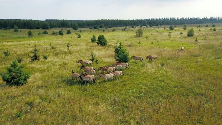 Ngựa hoang sinh sôi nảy nở ở Chernobyl